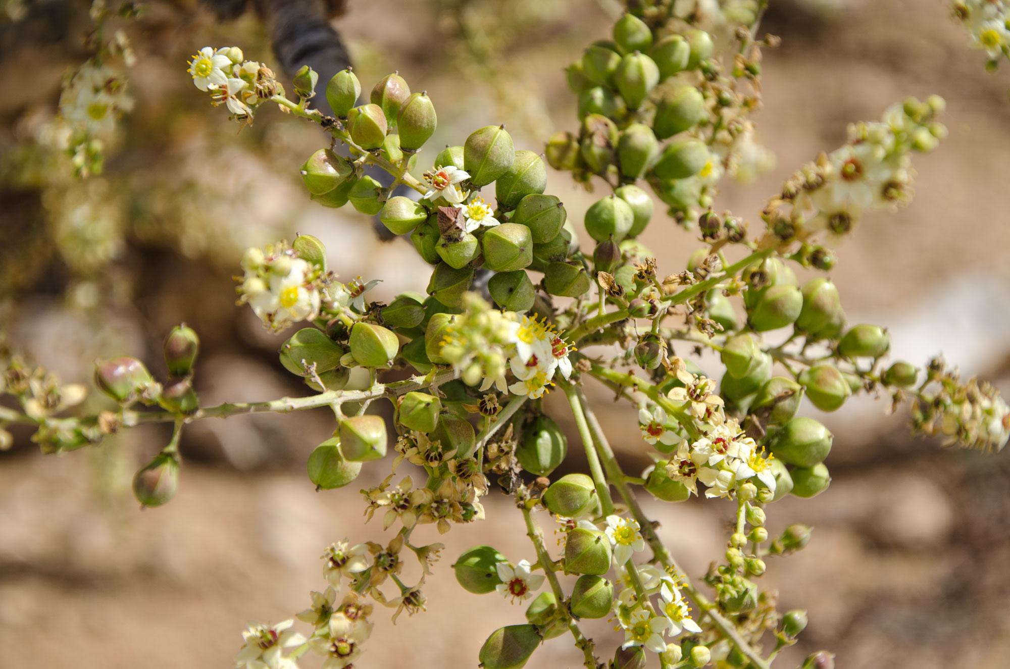 Dhofar ist als Weihrauchregion bekannt – überall findet man Weihrauchplantagen. Foto: Lothar Ruttner
