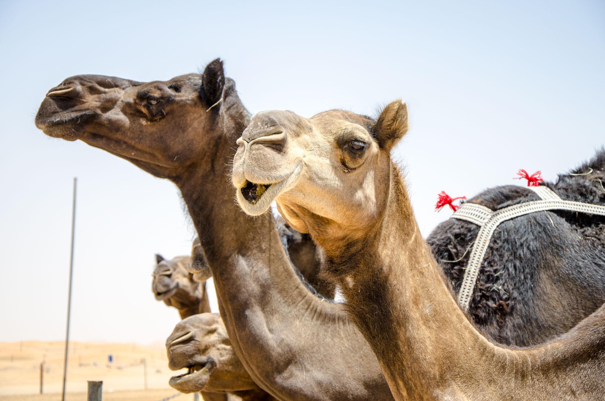 Kamele haben als Transportmittel ausgedient, sind aber fast überall im ganzen Land anzutreffen. Foto: Lothar Ruttner