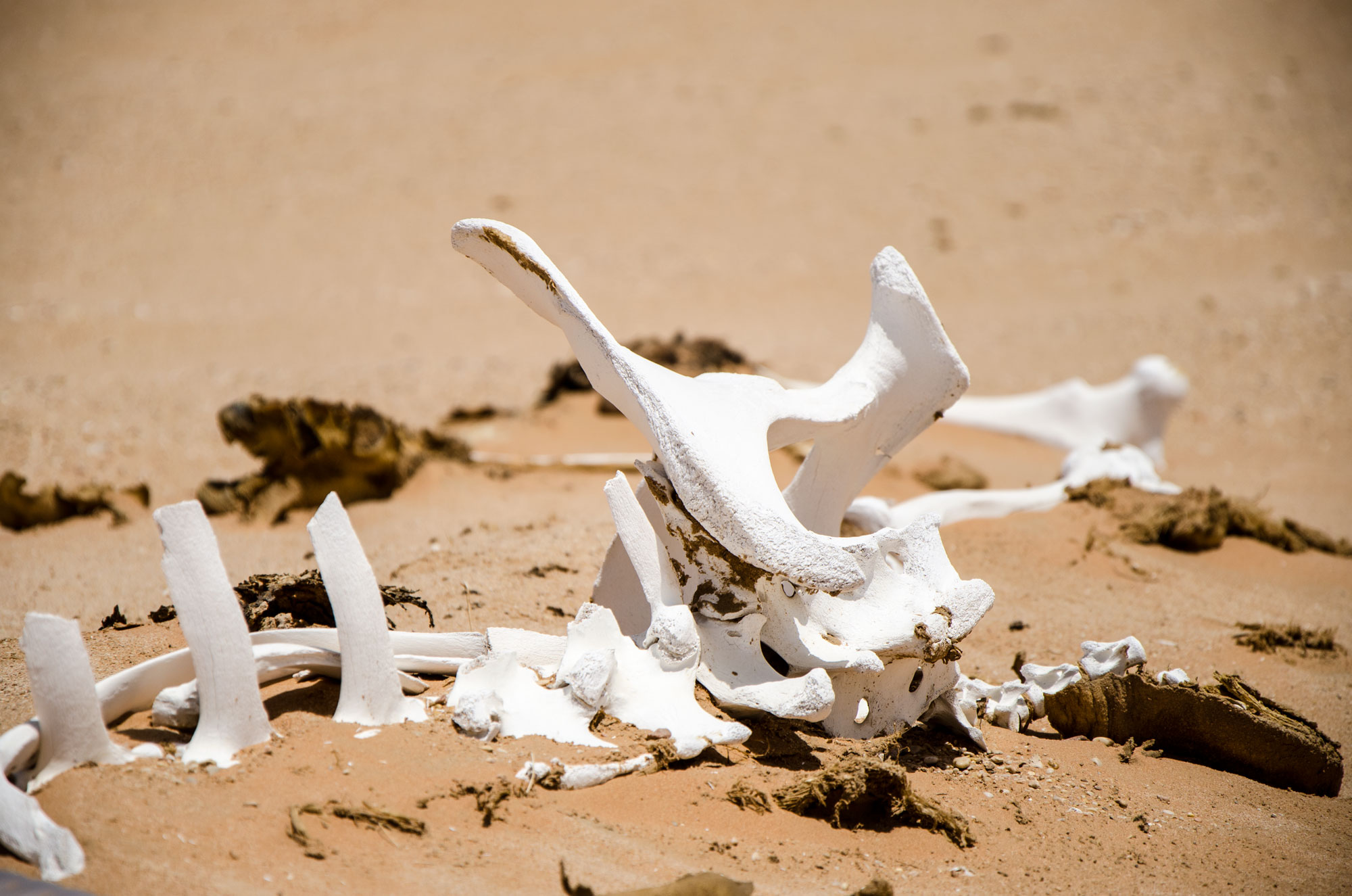 Da die Kamele nicht geschlachtet werden, ziehen sie sich wenn sie alt sind, in die Wüste zurück. Skelette im Wüstensand sind daher keine Seltenheit. Foto: Lothar Ruttner