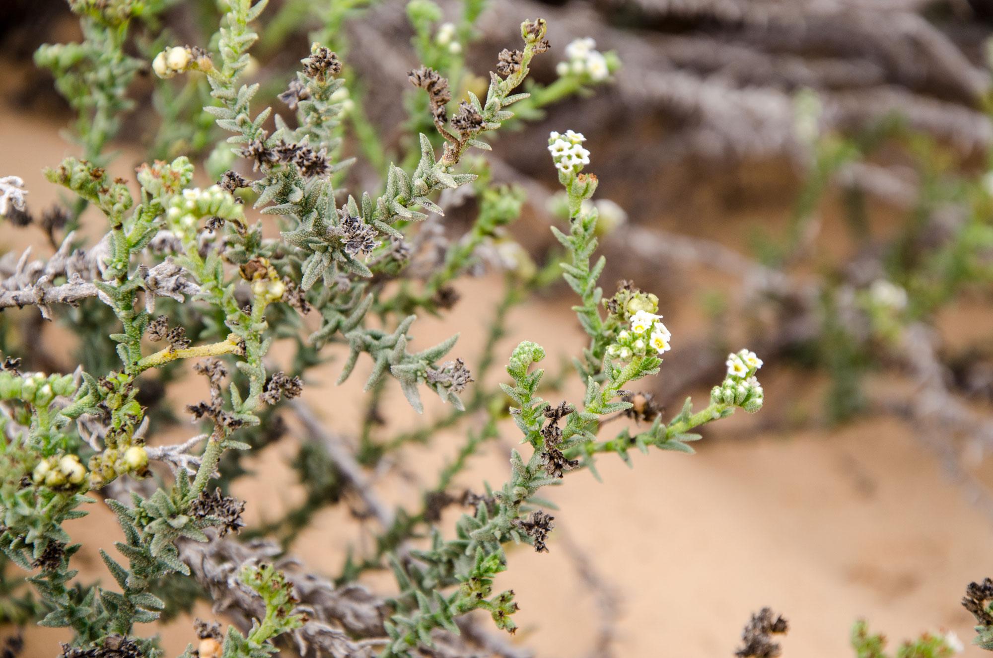In der Wahiba gibt es deutlich mehr Vegetation als in der Rub' Al-Khali. Foto: Lothar Ruttner